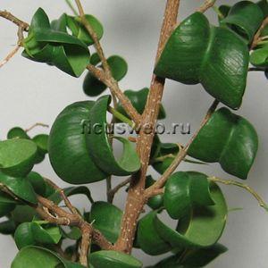 Фикус бенджамина Барок Ficus benjamina Barok | Фикус, Листья