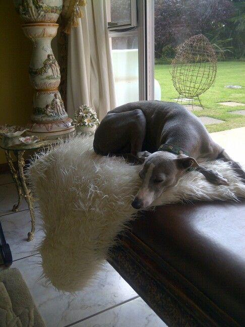 Tessa Italian Greyhound sleeping on her favourite spot