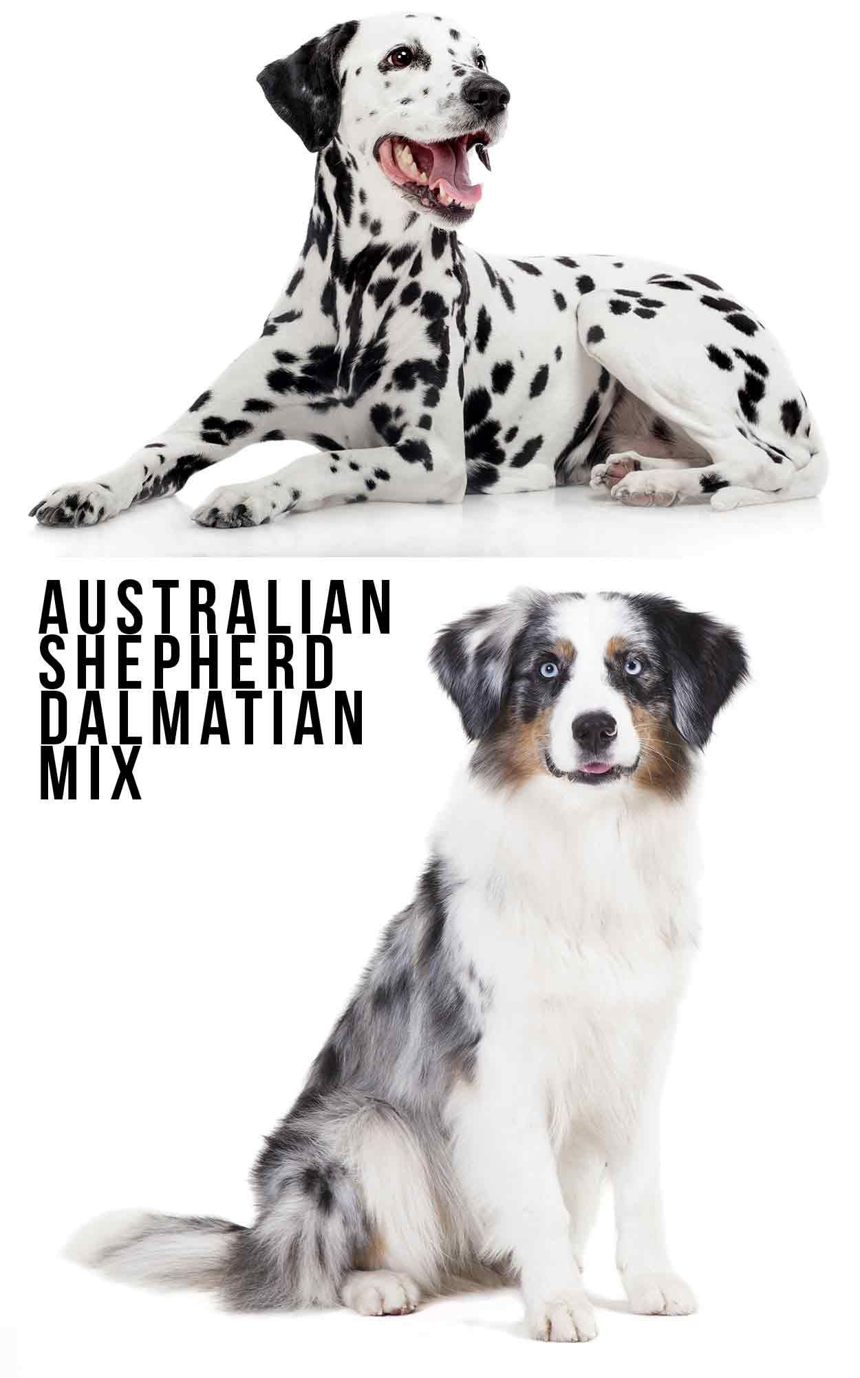 Australian Shepherd Dalmatian Mix Is This Your Dream Dog