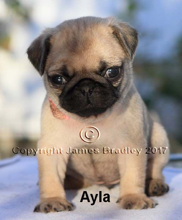 Litter Of 4 Pug Puppies For Sale In Portland Or Adn 46874 On
