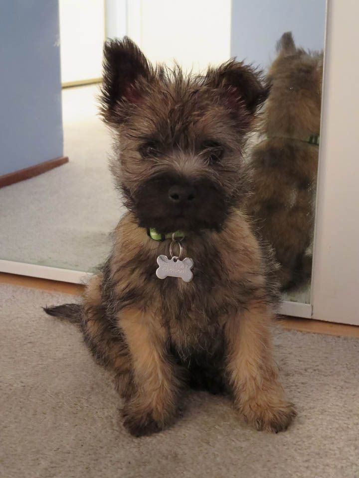 Cairn Terriers What S Good About Em What S Bad About Em