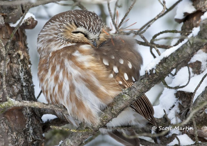 http://www.scottmartinphotography.ca/wp-content/gallery/owls/saw-whet-owl-07.jpg