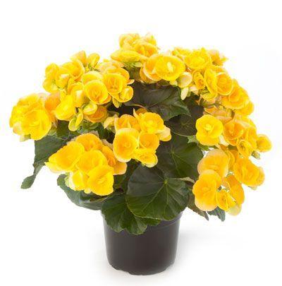 florecen durante casi todo el año. la begonia es utilizada para