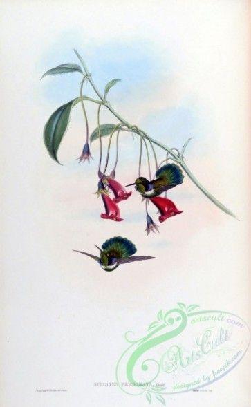 hummingbirds-00344 - schistes personata [1582x2560] - (с ...