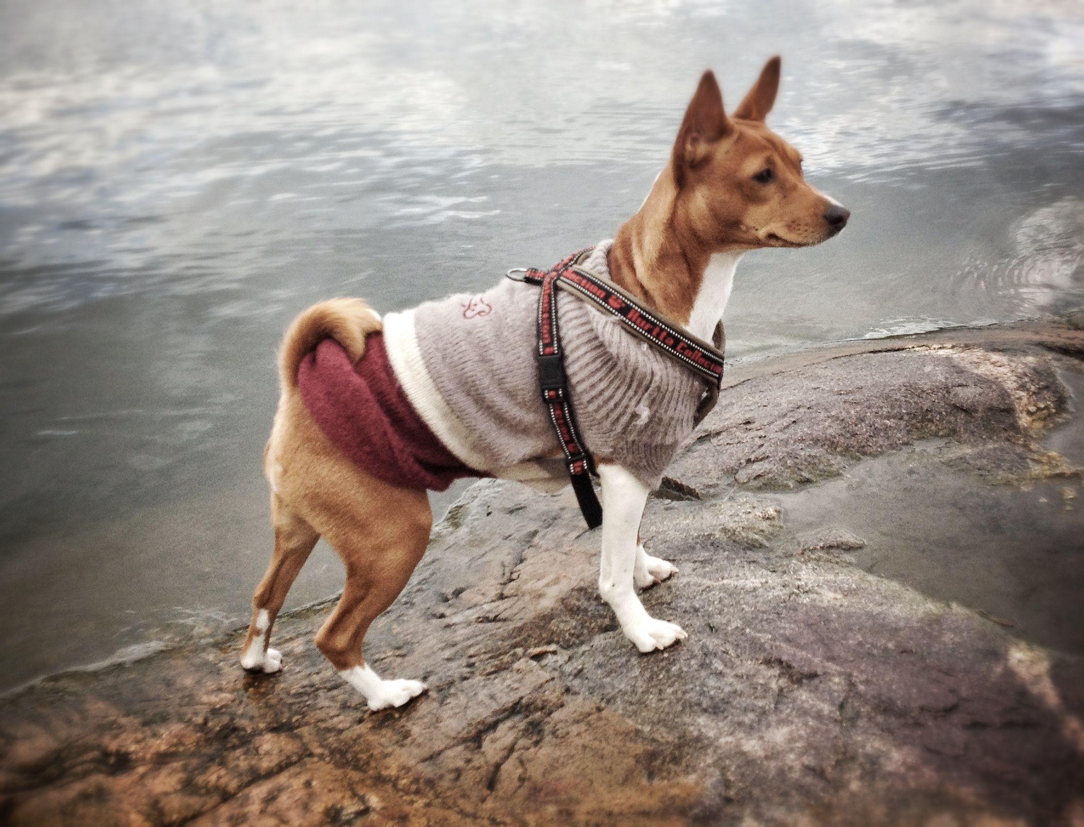 Nuka the basenji rajasaari dog park helsinki dogs