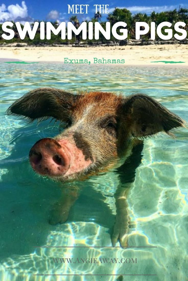 Want to meet the famous Swimming Pigs of the Bahamas?