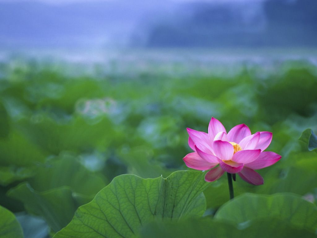 Pin By Michael L Bonic On Lotus Flower Lotus Flower Wallpaper