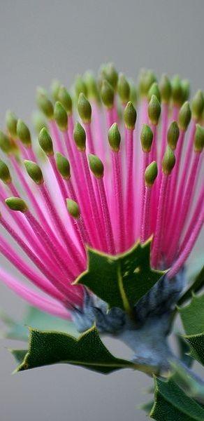 Matchstick Banksia