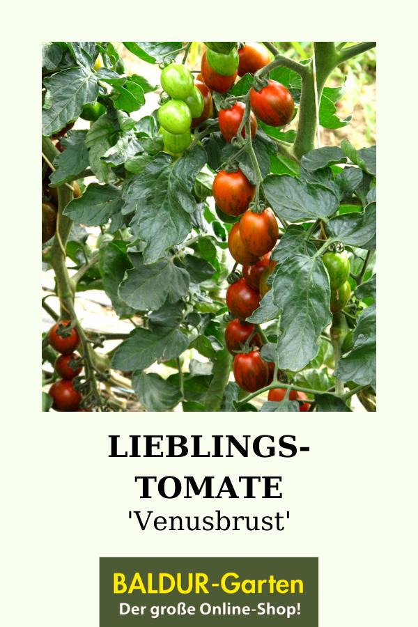 Pin Auf Tomatenpflanzen Evergreen Unter Dem Balkongemuse