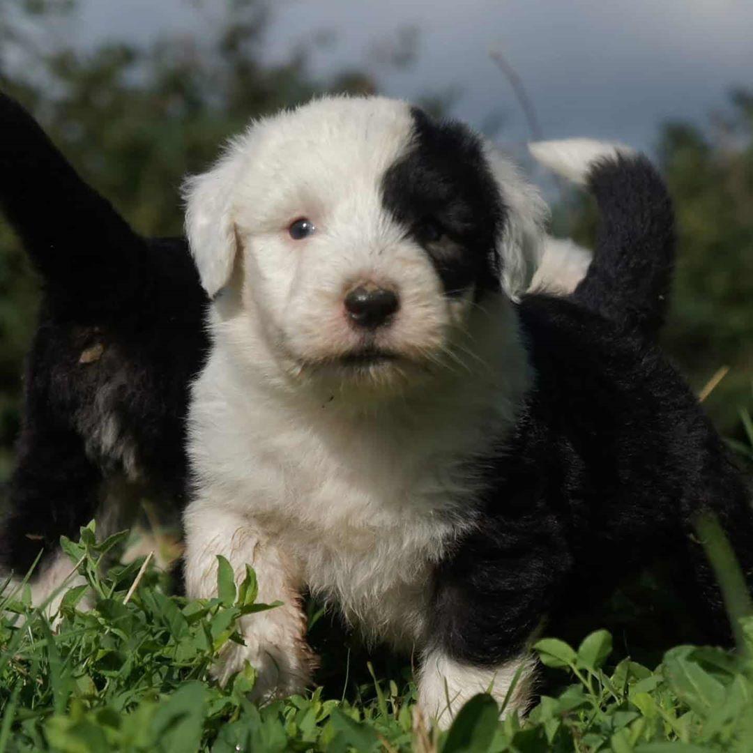 #bobtailofinstagram #bobtailturkiye #bobtailsofinstagram #bobtails #bobtailpuppy #bobtail #bobtaildog #dogkennelsakarya ...