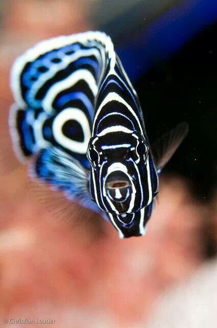 Juvenile Emperor Angelfish.  Photo: Christian Loader #Enchanted Nature