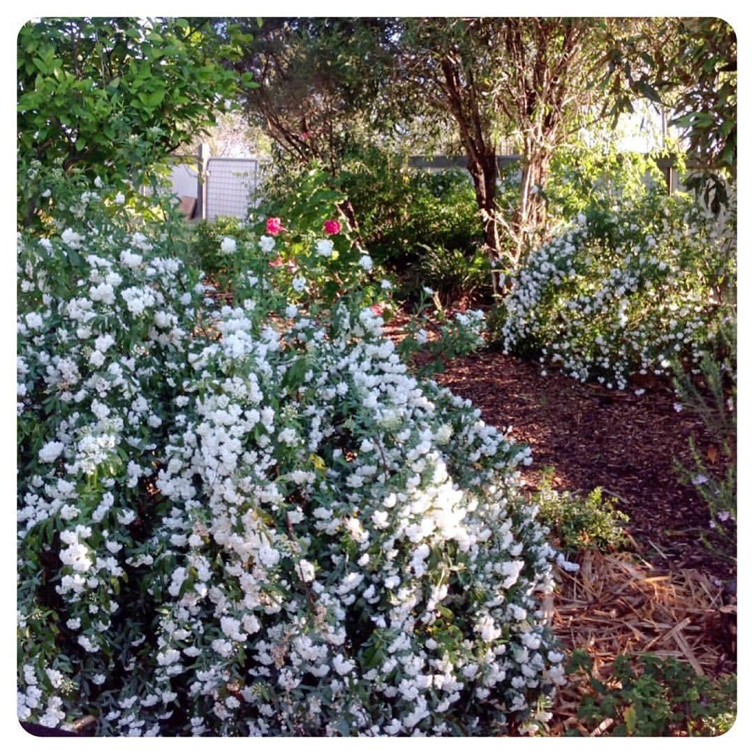 Spiraea Cantonensis Double White May A Virtually