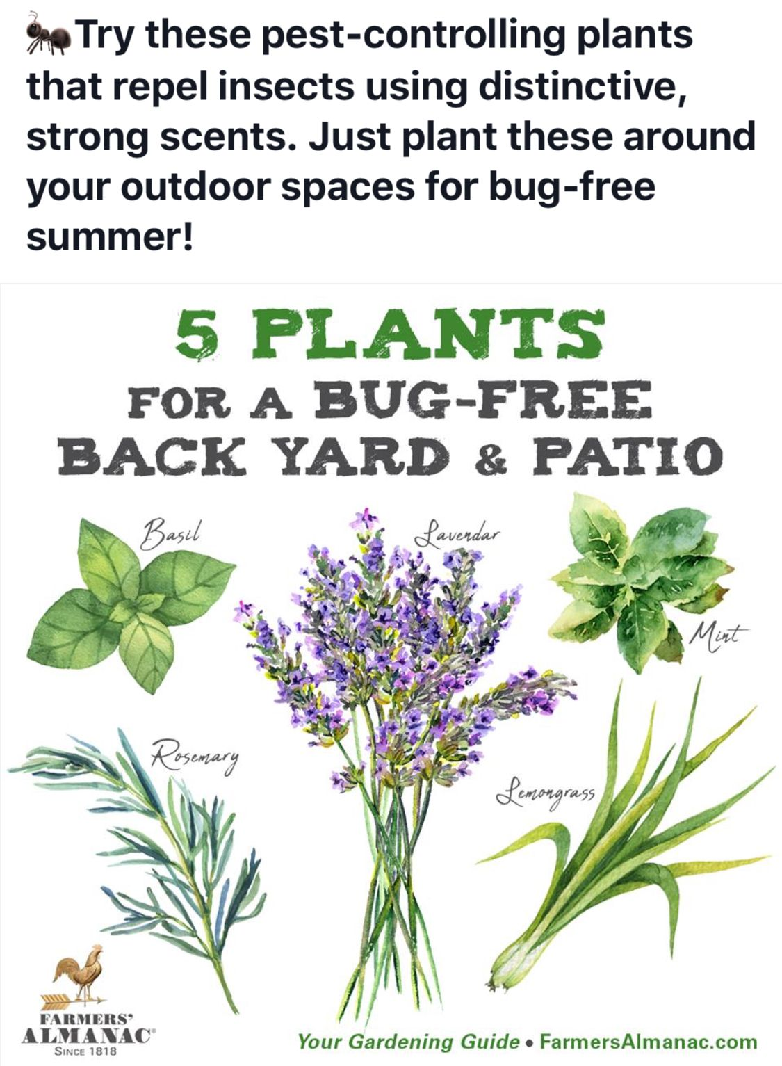 Plants For Bug Free Back Yard Insect Repellent Plants Plants