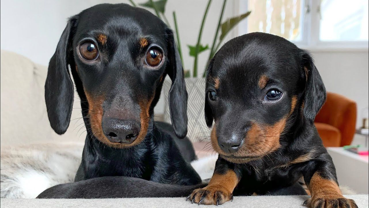 Miniature Dachshund Puppies For Sale In Houston Texas 2021
