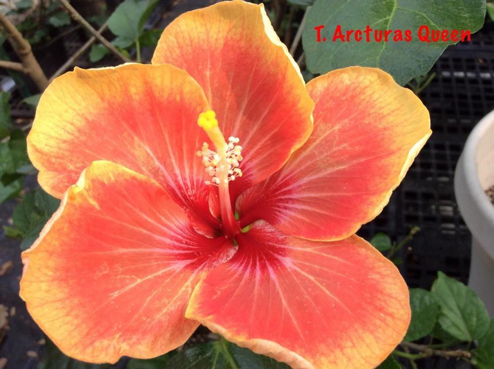 Tahitian Acturas Queen