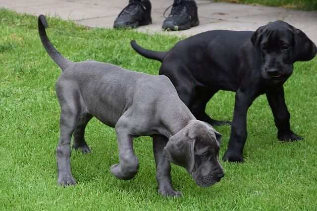 Large Dog Breeds That Don T Shed Dogvills Dog Breeds That Dont