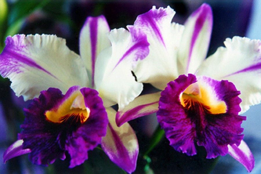 Cattleya Orchids Photo Greeting Card Flower Photography Hawaii Fine Art Nature Photography Purple And White No Cattleya Orchid Orchid Flower Orchid Photography