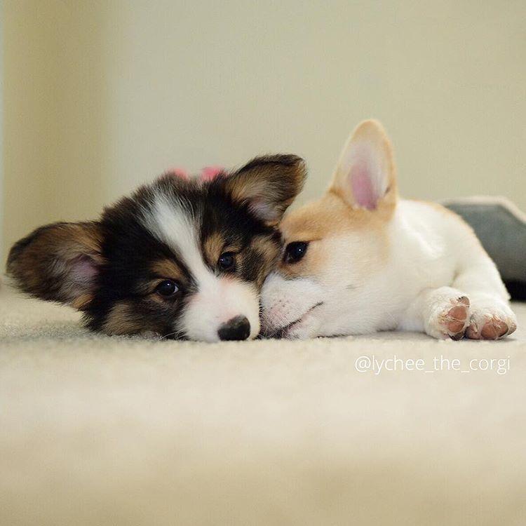 Cute Corgi Puppy Cute Corgi Puppies Funny Corgi Puppy Funny Corgi Puppies Cute Corgi Puppy Love Cute Corgi Puppy L Cute Corgi Puppy Puppies Cute Puppy Pictures