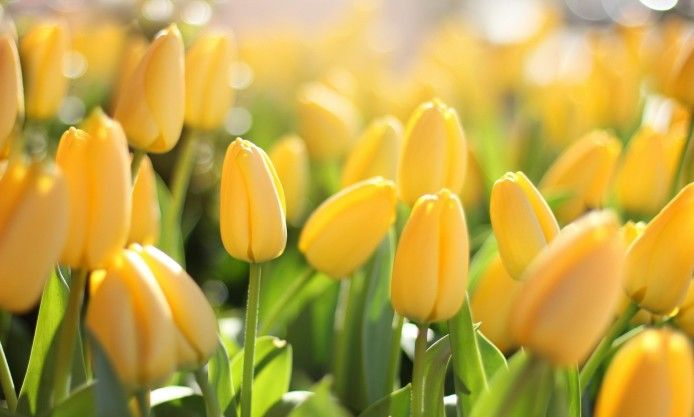 Macro Field Of Yellow Tulips Flowers 1080p Widescreen Nature Free Download Flowers Photography Wallpaper Flower Close Up Flowers Photography