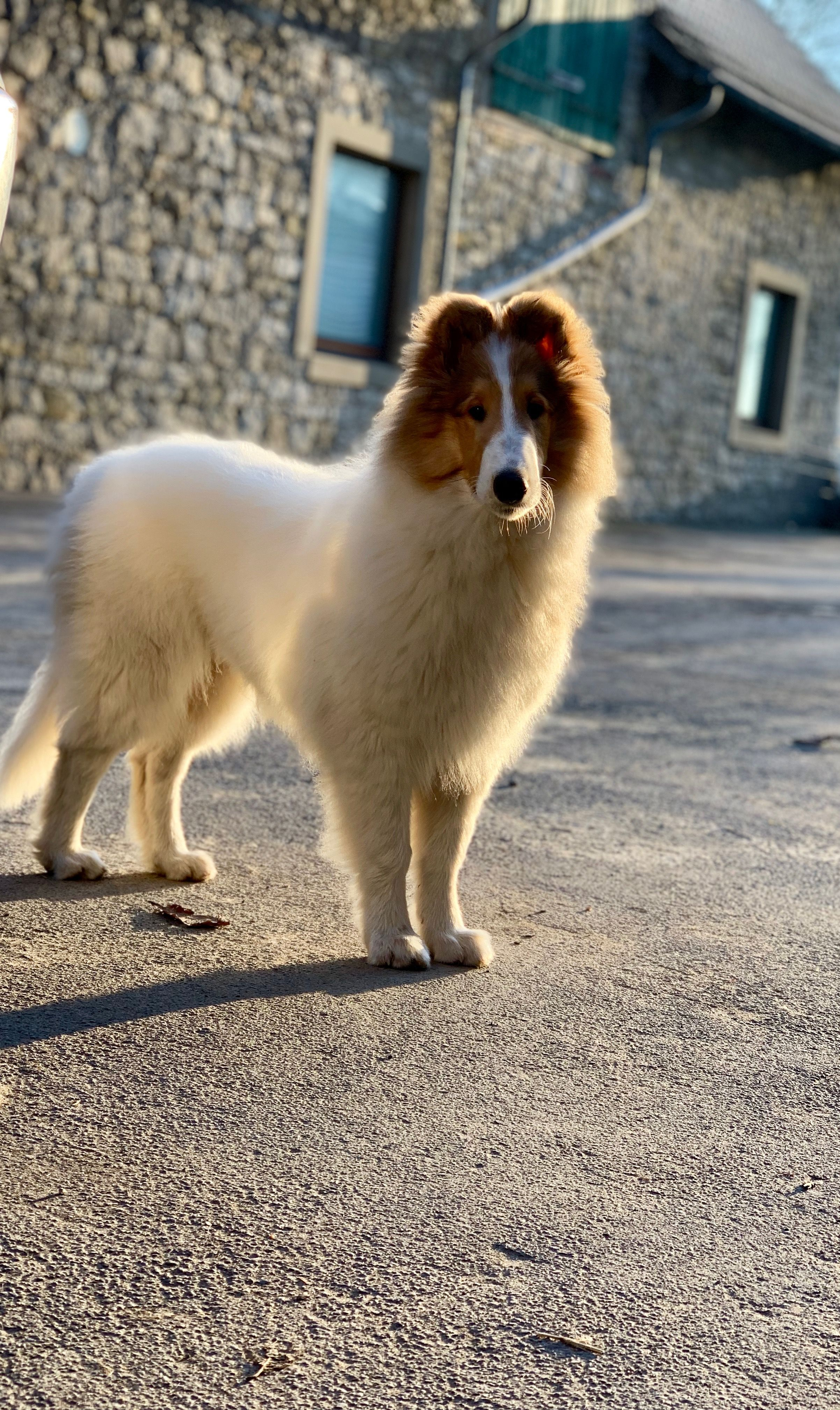Rough Collie Light And Shadow Rough Collie Collie Dog Collie