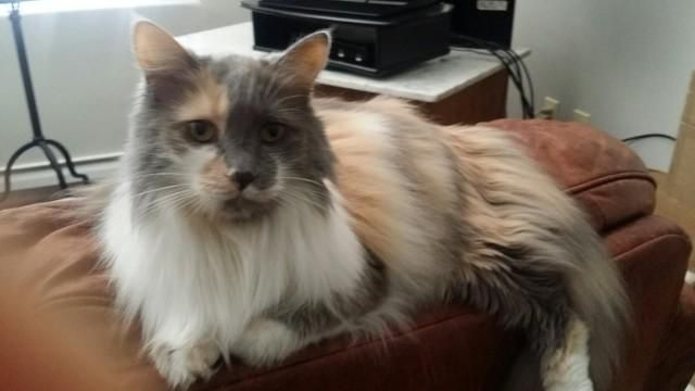 Stunning Long Haired Calico Norwegian Forest Cat Mix For Adoption In Los Angeles Ca Adopt Sophia Today Forest Cat Norwegian Forest Norwegian Forest Cat