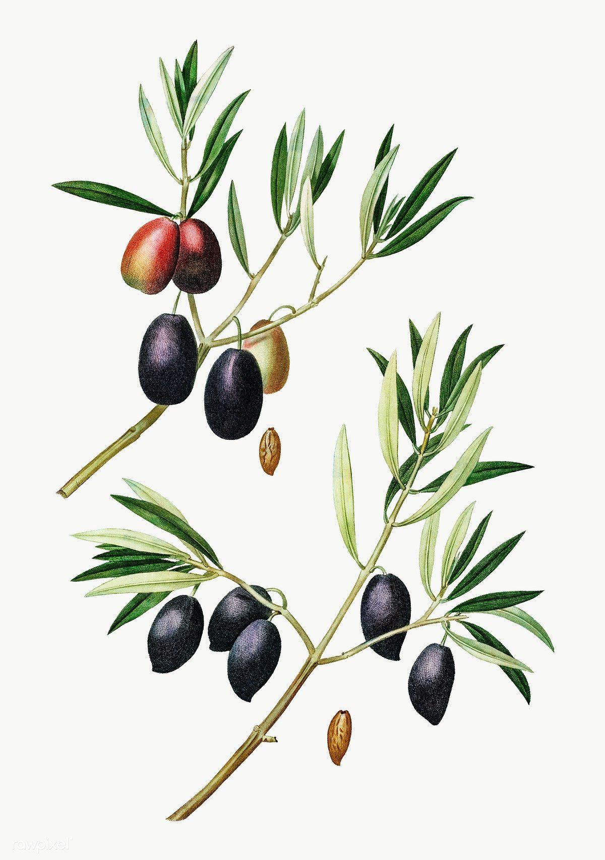 Olive Tree Branch Transparent Png Free Image By Rawpixel Com Botanical Illustration Vintage Vintage Botanical Olive Branch