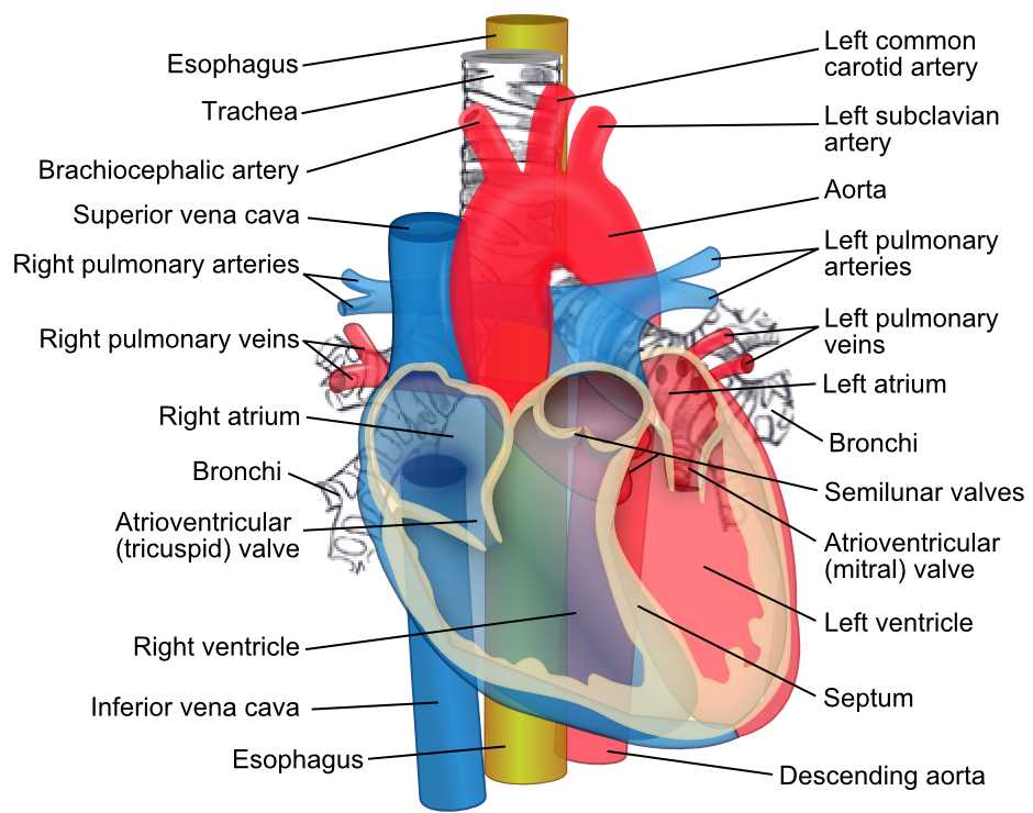 Structure Of The Heart Google Search Nursing Notes Pinterest
