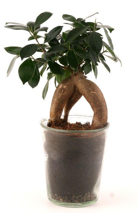 Entretien, arrosage, exposition ficus bonsai ginseng | Plantes ...