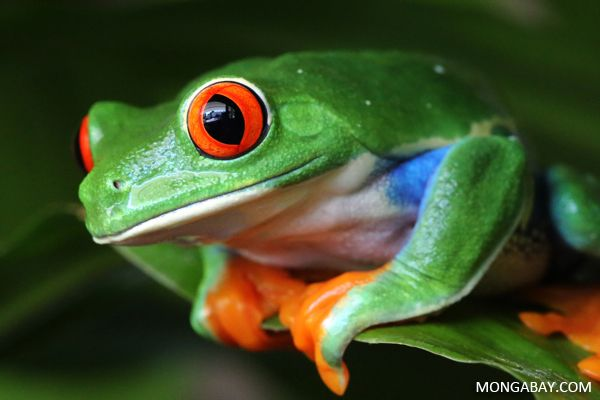 The Magnificent Red-eyed Tree Frog