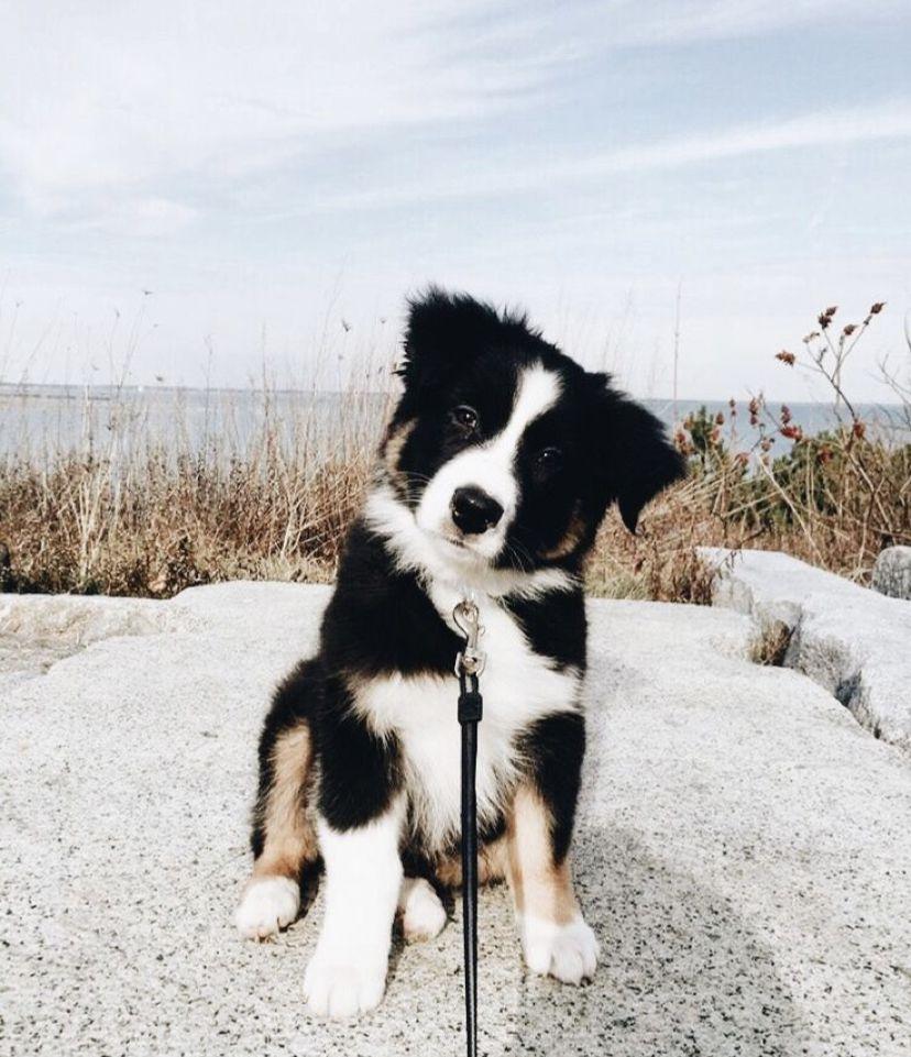 Pin Pa Hund