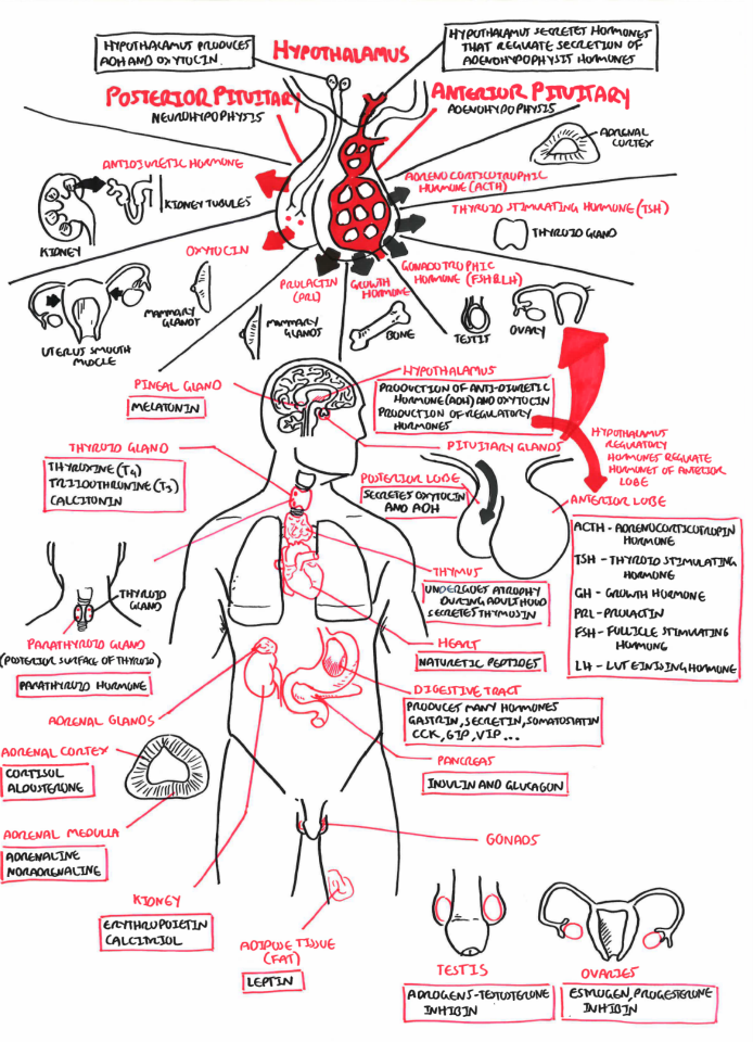Endocrine System … | Endocrine, Nursing notes