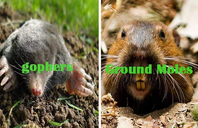 Home Remedies To Get Rid Of Gophers And Ground Moles Getting Rid Of Gophers Big Animals Gopher