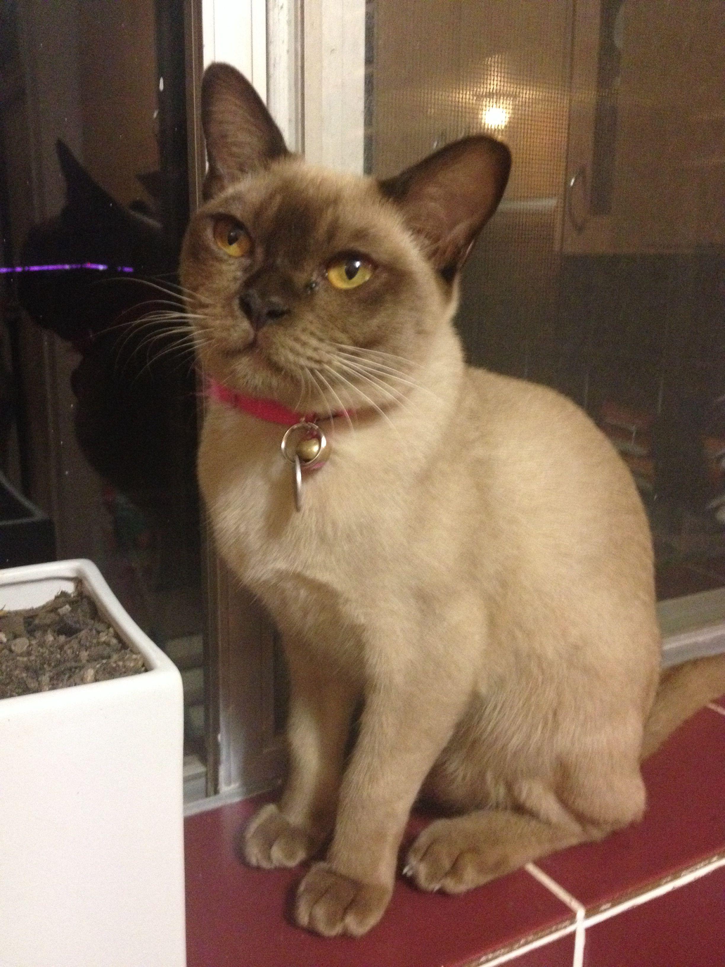 Chocolate Burmese Burmese Cat Pretty Cats Cats Meow