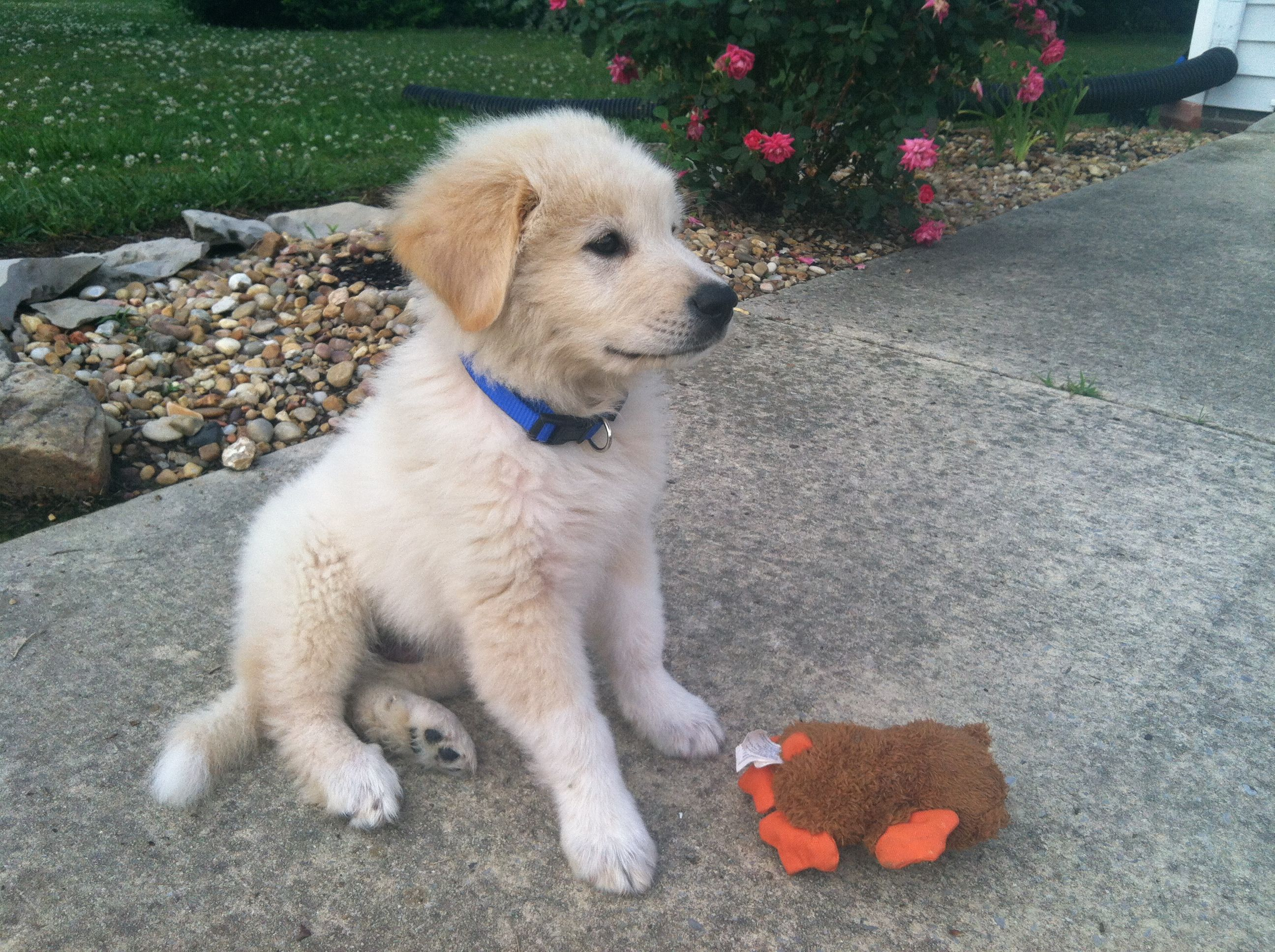 Sam Great Pyrenees Golden Retriever Mix Puppy Golden Retriever