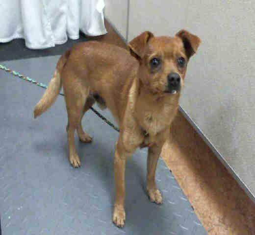 Chihuahua Dog For Adoption In Sacramento Ca Adn 681617 On