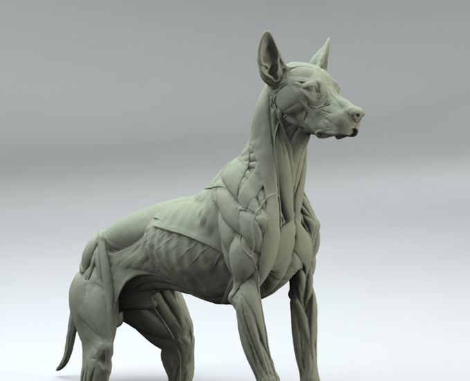 Canine anatomy sculpt by S. D. Lord •Superficial muscles | Anatomy ...