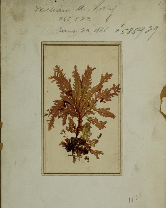 Pressed seaweed specimens - Biodiversity Heritage Library