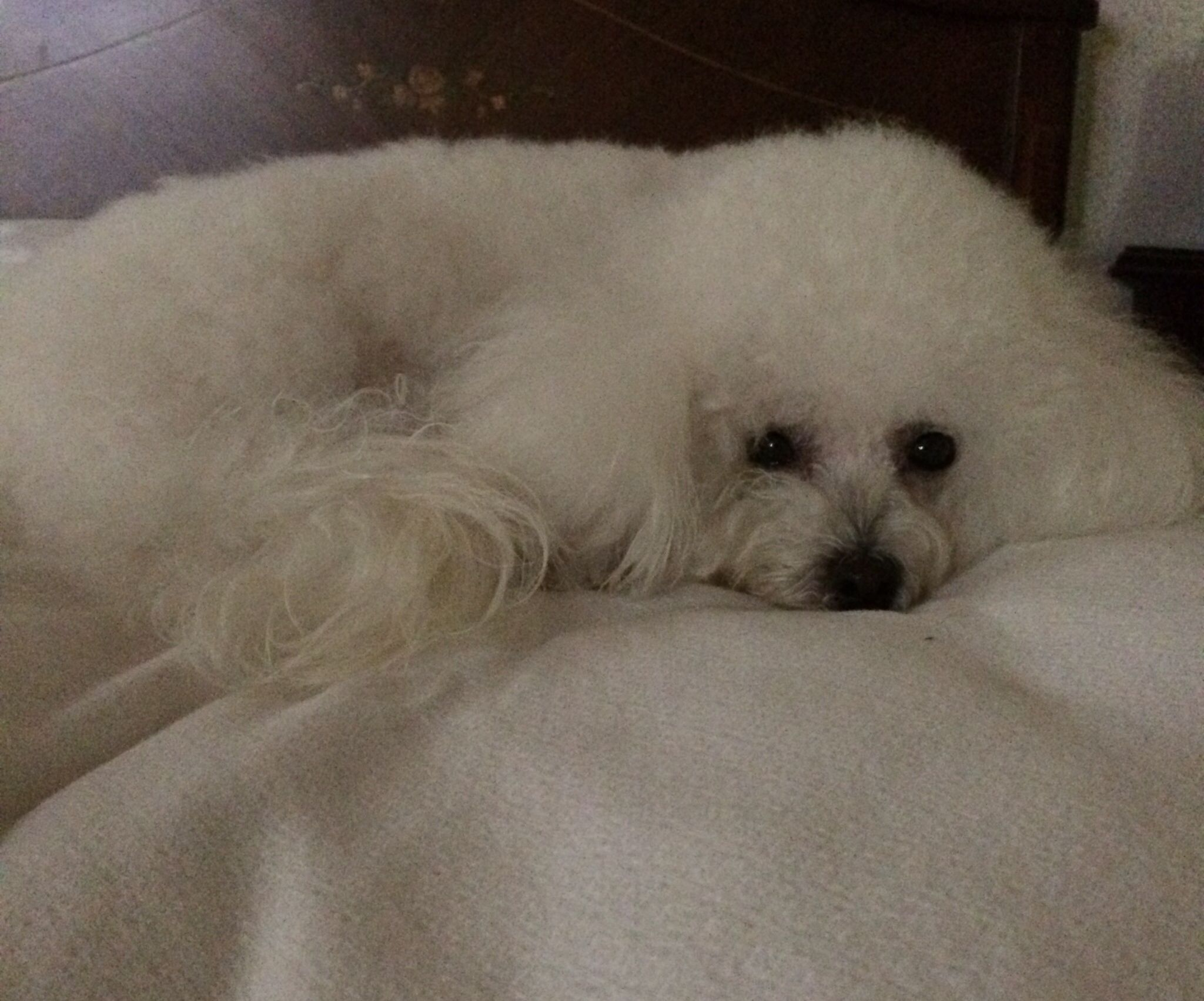 Loli Bichon Frise Bichon Frise Bichon Frise Animals Dogs