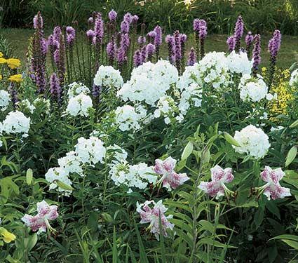 Phlox paniculata david yard wildflower garden pinterest phlox paniculata david white flower farm 40 in tall 18 24 in wide blooms july sept perennial mightylinksfo