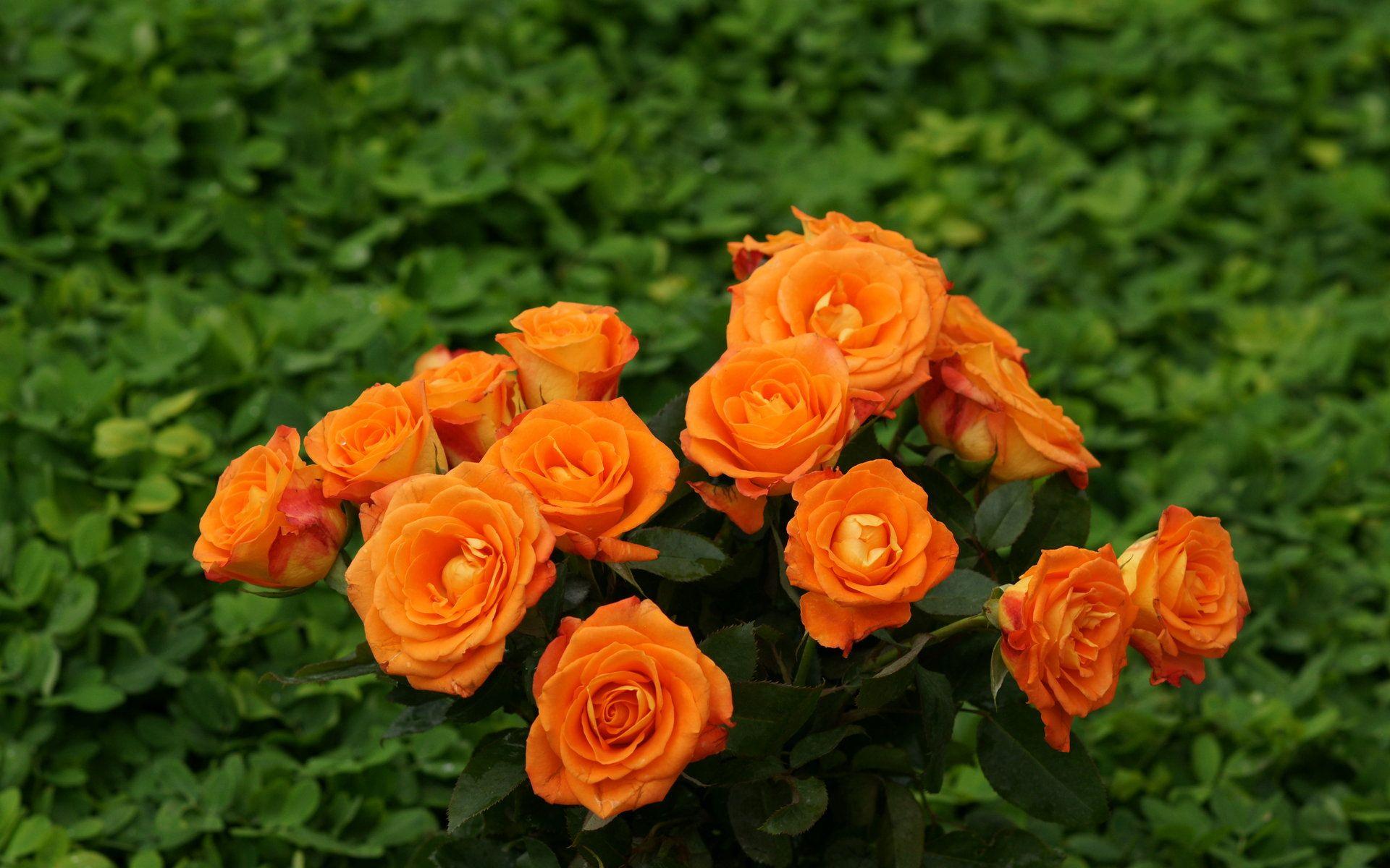 Orange Rose Pictures For Wallpaper orange roses