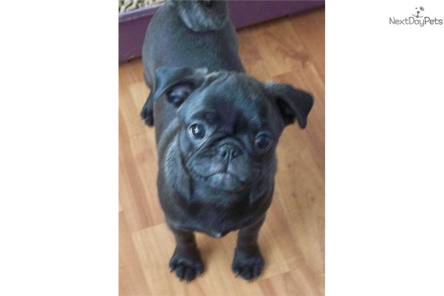 Pug Puppy For Sale Near Portland Oregon 1581108f E381 Pets