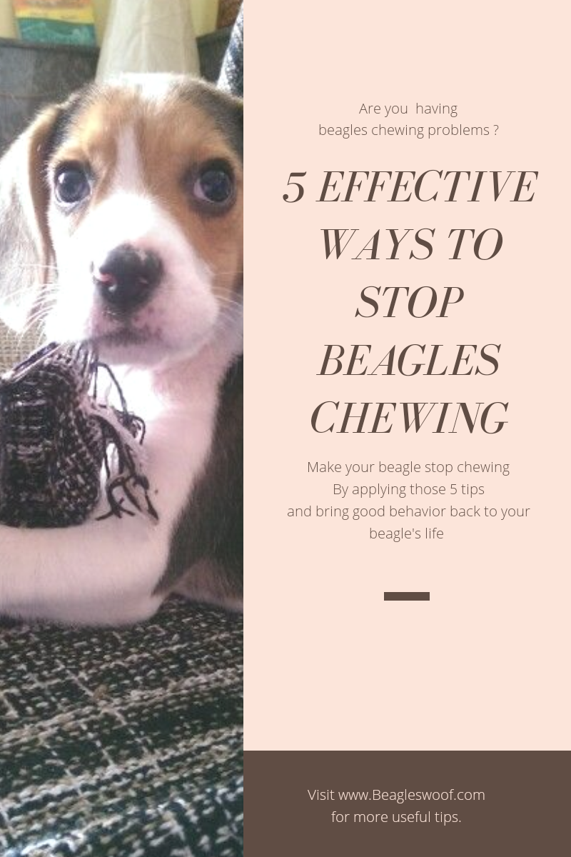 Dog Chewing Starts For Beagles When Theyre Still Puppies As It Is
