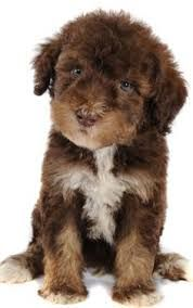 Image Result For Teddy Bear Schnoodle Puppies For Sale Schnoodle
