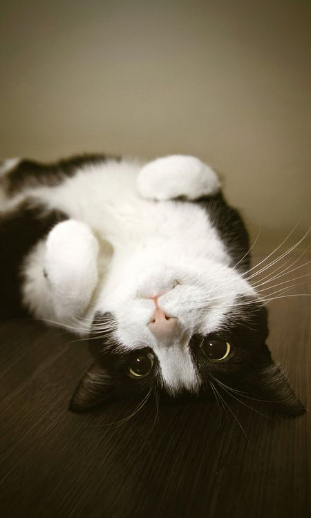 ... My cat Pickles that is also a tuxedo cat and looks exactly like this does the exact same thing =)