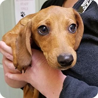 Waynesville Nc Dachshund Mix Meet Huck A Puppy For Adoption