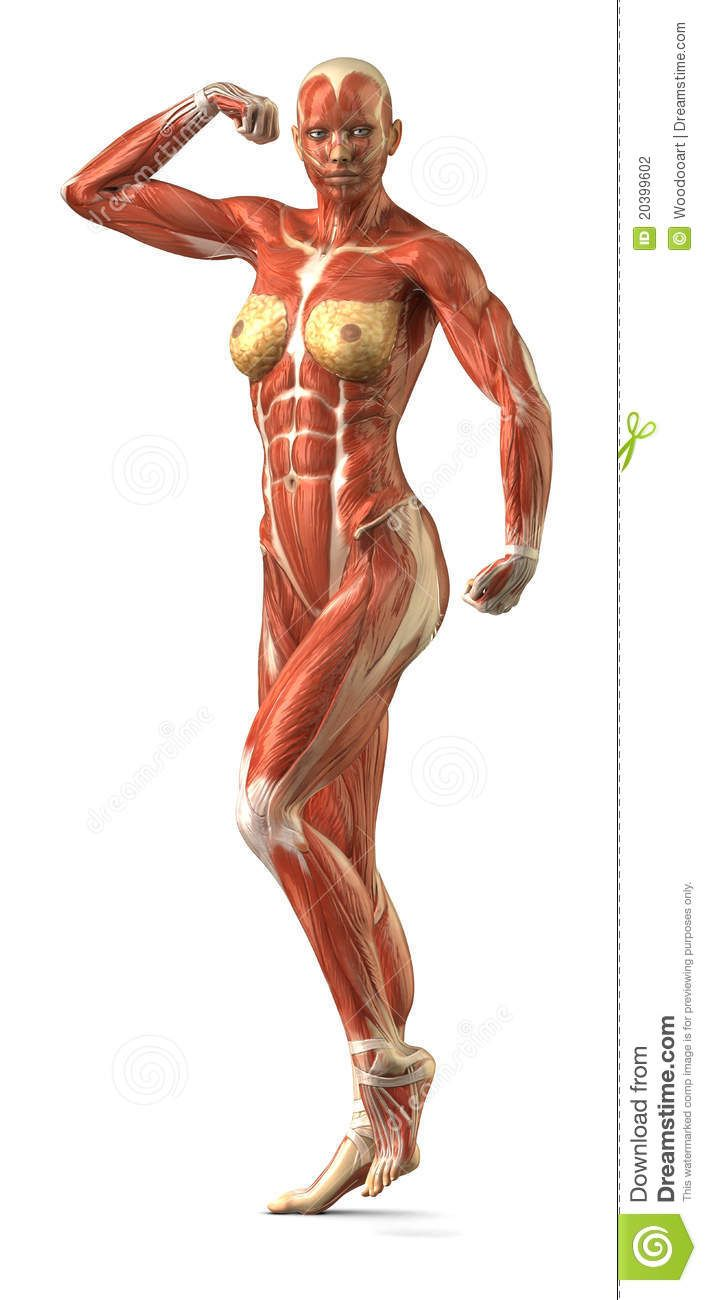 Female Back Muscle Anatomy Female muscle anatomy | Human body ...