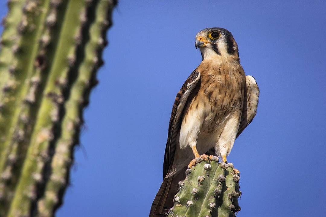 Desierto de la Tatacoa, Huila.  Ph: Carlos Bernate @tejiendo_memoria14 / Tejiendo Memoria   Pequeñas aves de rapiña que diariamente son blanco de traficantes en el desierto de la Tatacoa.   #TejiendoMemoria #HistoriasDeMiAldea #Desierto #Tatacoa #Atardecer #Fauna #wildlife #Nature #newproyect #soon #2016 #Colombia #Trafico #Traficantes  @tudiscovery