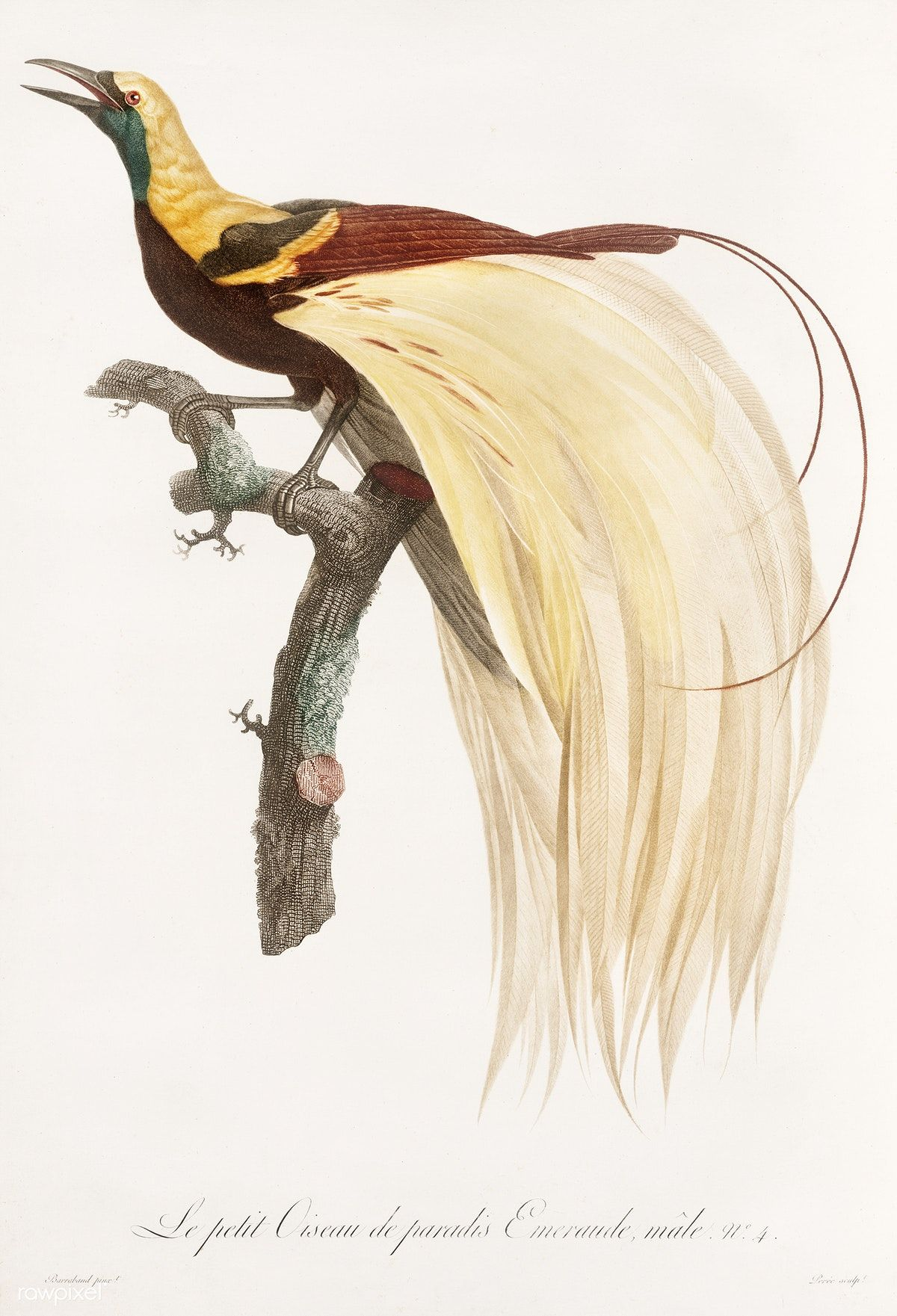 Free Public Domain | www.rawpixel.com | Young, emperor bird-of ...