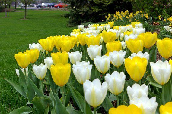 5 White Yellow Tulip Bulbs Bi Color Spring Flower Garden Bloom