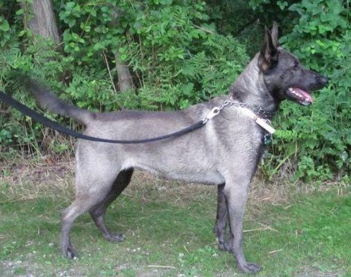 Belgian Malinois Belgian Malinois Dog Malinois Dog Belgium